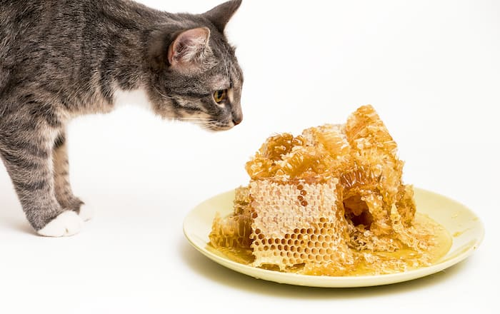 Fresh honey in the comb with cat