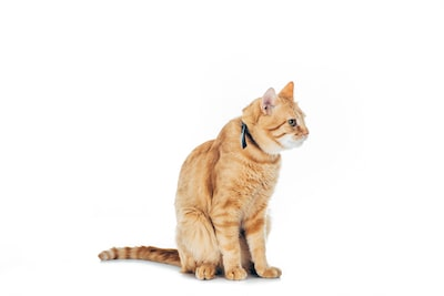 ginger cat with a seresto flea collar
