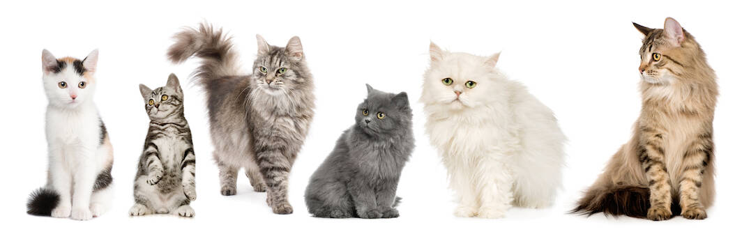 Norwegian, Siberian and persian cat in a row